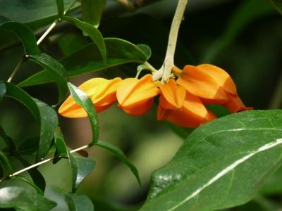 Cocoa Flower