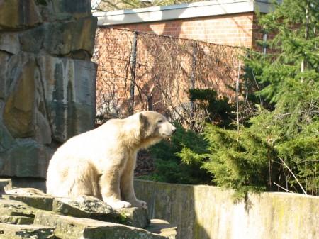 Eisbär Knut (Karl-Heinz Liebisch, pixelio.de)